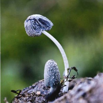 Coprinus radiatus